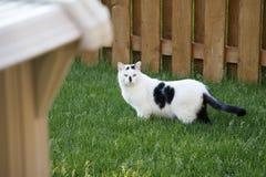 Feral Cat perdido blanco y negro en patio trasero Imagen de archivo