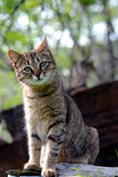 Feral cat pose. Beautiful domestic pet feral cat pose Royalty Free Stock Images