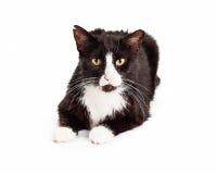 Feral Cat preto e branco foto de stock royalty free