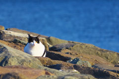 Feral cat at the sea shore Royalty Free Stock Image