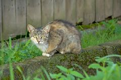 Feral cat sitting in front of a fense - felis catus. Grey brown feral cat sitting on the ground in front of a fence, looking at you, selective focus royalty free stock photo