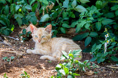 Feral Cat. Sitting in the shadow of a bush at Hanauma Bay on Oahu, Hawaii, USA Royalty Free Stock Photo