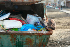 Feral cat sitting on trash dumpster full of garbage. Royalty Free Stock Images