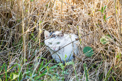 Feral Cat in Wetland Marsh. A feral cat hunting in the grasses of a wetland marsh Stock Photography