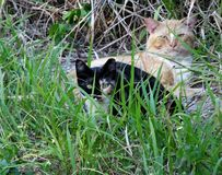 Feral Cats Felis catus. Feral Cats resting in the grass Stock Photos