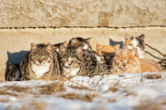 Feral Cats. A group of feral cats huddled together to keep warm, near the wall of an old abandoned home .  Taken during -20C weather Stock Image