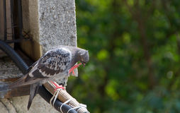Feral,city or street pigeon Stock Photography