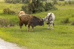 Feral cows Royalty Free Stock Image