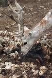 Feral Deer Royalty Free Stock Photos