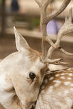Feral Deer Stock Photography
