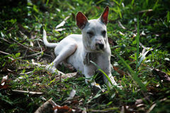 Feral dog Royalty Free Stock Photos
