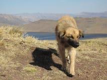 Feral Dog in de Bergen van Peru Royalty-vrije Stock Foto