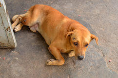 Feral dog. Homeless canines living and scrounging around Jomtien Beach, Thailand Stock Photo