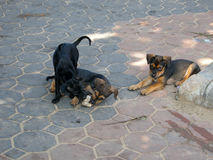 Feral dog. Homeless canines living and scrounging around Jomtien Beach, Thailand Stock Images