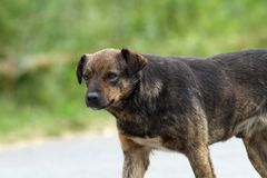 Feral dog on the street Stock Image