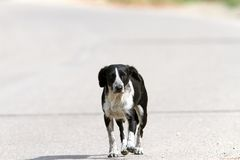 Feral dog walking on the street Stock Image
