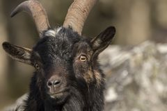 Feral goat portrait with Autumn colour background. Feral, domestic, wild goat of scotland portraits with autumn colour backgrounds royalty free stock images