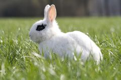 Feral domesticated rabbit Royalty Free Stock Images