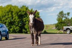 Feral Donkey grávido imagem de stock