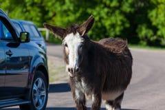 Feral Donkey grávido foto de stock royalty free