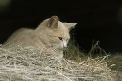Feral Farm Cat in barn. With Hay Stock Photos