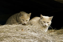 Feral Farm Cats. Two Feral Farm Cats in barn Royalty Free Stock Images