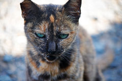 FERAL FEMALE CAT Stock Images