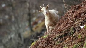 Feral goat, billy, nannay, kid foraging, grazing on a rocky slope in Cairngorm national park, scotland during winter in february. Feral goat, capra hircus billy stock video