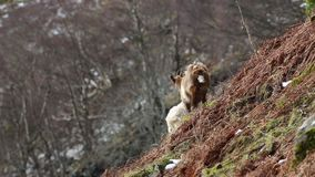 Feral goat, billy, nannay, kid foraging, grazing on a rocky slope in Cairngorm national park, scotland during winter in february. Feral goat, capra hircus billy stock video footage