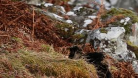 Feral goat, billy, nanny, kid foraging, grazing on a rocky slope in Cairngorm national park, scotland during winter in february. Feral goat, capra hircus billy stock video footage