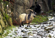 Feral Goat, cabra de montaña Galés, ocultando de la tormenta Foto de archivo libre de regalías