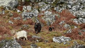 Feral goat, billy, nanny, kid foraging, grazing on a rocky slope in Cairngorm national park, scotland during winter in february. Feral goat, capra hircus billy stock video