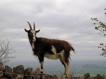 Feral Goat Climbing Stone Wall, Cheddar Gorge, Somerset, UK. Closeup of brown goat in the wild standing on a wall with landscape of Somerset in the background royalty free stock photo