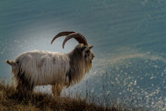 Feral goat. With large horns, good details and colours looking out to sea on the edge of a cliff royalty free stock images