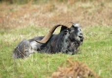 Feral Goat selvagem Fotos de Stock Royalty Free