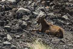 Feral Goats in Hawaii Stock Photo