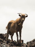 Feral Goats in Hawaii Stock Images