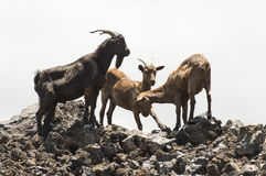 Feral Goats in Hawaii Royalty Free Stock Images