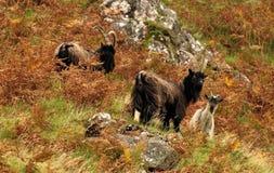 Feral goats, Scotland (Capra aegagrus hircus) Stock Images
