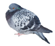 Feral gray pigeon Stock Image