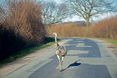 Feral greater rhea (nandu) walking on a country road in northern Stock Images