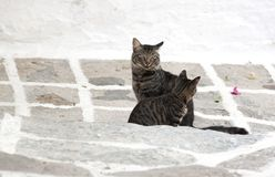 Feral greek cats. Feral cat and kitten in greek island of Paros stock images