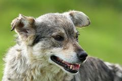 Feral grey dog portrait Royalty Free Stock Photography
