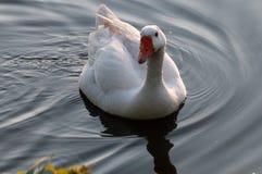 Feral Greylag Goose in Oost-Vlaanderen royalty-vrije stock foto's