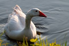 Feral Greylag Goose in Oost-Vlaanderen royalty-vrije stock fotografie