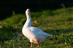 Feral Greylag Goose in Oost-Vlaanderen stock afbeeldingen