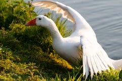 Feral Greylag Goose in Oost-Vlaanderen stock fotografie