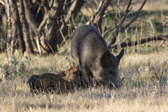 Feral Hogs and piglets. Sow Feral hg and piglets in Texas Royalty Free Stock Photo