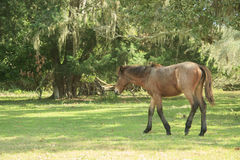 Feral Horse Stock Image