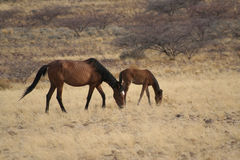 Feral Horses Royalty Free Stock Photos